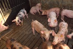 Fattening pigs approaching two months old.  stock image