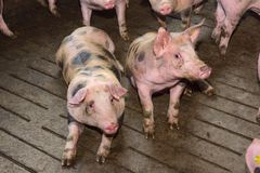 Fattening pigs approaching two months old.  stock photo