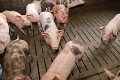 Fattening pigs approaching two months old.  royalty free stock photo