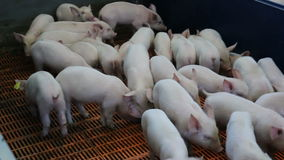 Fattening pigs in the pen stock footage
