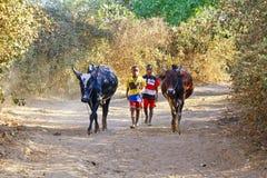Fattig malagasy pojke som leder ilskna tjurar arkivfoto