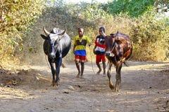 Fattig malagasy pojke som leder ilskna tjurar arkivfoton