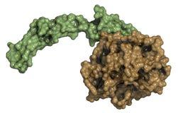Fattore di coagulazione attivato VII (FVIIa), struttura chimica. Fotografie Stock Libere da Diritti