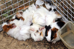 Fattoria degli animali con una gabbia del metallo con molti giovani conigli Fotografia Stock Libera da Diritti