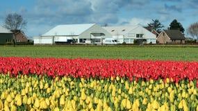 Fattoria in un mare dei tulipani variopinti Immagine Stock Libera da Diritti