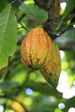 Fatty bean of Theobroma Cacao, fruit on tree, Dominican Republic. Royalty Free Stock Photos