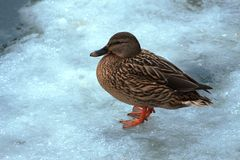 Fatty duck on ice. Fatty duck on blue ice in the frost Stock Photography