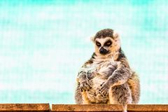 Fatty funny lemur Stock Images