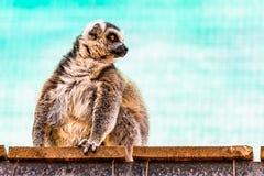 Fatty funny lemur Royalty Free Stock Photography