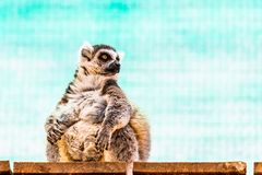 Fatty funny lemur Stock Photos