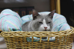 The fatty grey cat is sleeping on a basket Royalty Free Stock Images