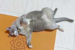 Fatty grey cat is sleeping on the floor Royalty Free Stock Image