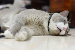 Fatty grey cat is sleeping on the floor Stock Photo