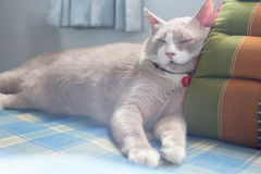 Fatty grey cat is sleeping on pillow Stock Images