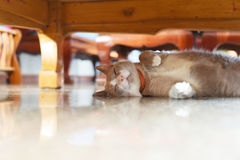 Fatty grey cat is sleeping under table. The fatty grey cat is sleeping under table Stock Photo