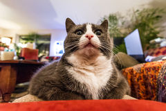 Fatty kitty cat surprise. Wide angle close up of a funny chubby obese fat kitty cat looking surprised indoors Royalty Free Stock Images