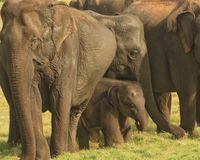 Fatty little elephant with mom and dad. Little elephant calf with parents at minneriya , srilanka Royalty Free Stock Images