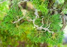 Fatura da árvore dos bonsais Fotografia de Stock Royalty Free