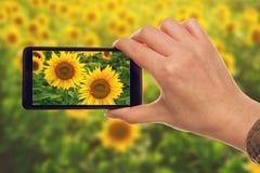 Fatura de instantâneos dos girassóis com o telefone esperto móvel Imagem de Stock Royalty Free
