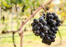 Fatura de vinho roxa da uva Fotos de Stock Royalty Free