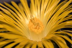Faucaria felina. Is a species of succulent plant in the Aizoaceae family. It is endemic to South Africa, but also widely spread in culture. It has a clumping Royalty Free Stock Images