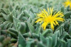 Faucaria-tuberculosa - gelbe Blume Pebbled Tiger Jaws Cactus Lizenzfreie Stockfotos