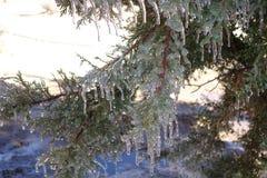 Faucilles de glace sur les branches de genévrier Images stock