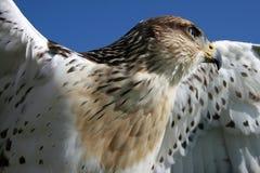 Faucon à jambes rugueux Photos libres de droits