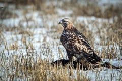 Faucon à jambes rugueux majestueux sur le champ neigeux Photographie stock libre de droits
