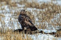 Faucon à jambes rugueux sur le champ neigeux Photos stock