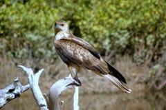 Faucon à l'île magnétique Photo libre de droits
