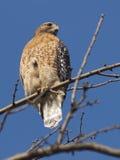 Faucon épaulé rouge dans l'arbre Photographie stock libre de droits
