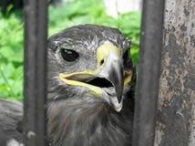 Faucon Photographie stock libre de droits