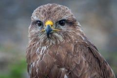 faucon Image stock