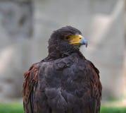 faucon Image libre de droits