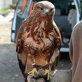 faucon Photos libres de droits
