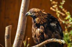 faucon Photo stock