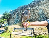 Faucon apprivoisé se reposant sur la main principale du ` s Jour d'été à vieux Tbilisi photographie stock libre de droits