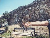 Faucon apprivoisé se reposant sur la main principale du ` s Jour d'été à vieux Tbilisi images stock