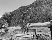 Faucon apprivoisé se reposant sur la main principale du ` s Jour d'été à vieux Tbilisi image stock