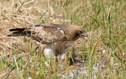 Faucon après chasse réussie Photos libres de droits