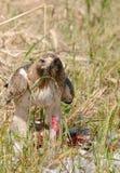 Faucon après la chasse réussie Photo stock