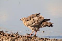 Faucon, autour foncé de chant - oiseaux sauvages d'Afrique - bleu Photographie stock libre de droits