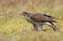 Faucon avec le faisan sauvage Photos libres de droits