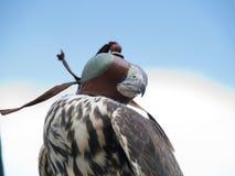 Faucon avec un capuchon Image libre de droits