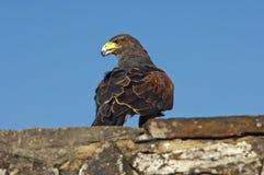 faucon Baie-à ailes Photo stock