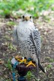 Faucon blanc Photos libres de droits
