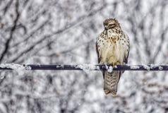 Faucon coloré en chutes de neige Photographie stock libre de droits