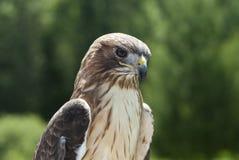 Faucon coupé la queue par rouge Image stock