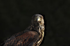 Faucon coupé la queue par rouge sauvage Photo stock